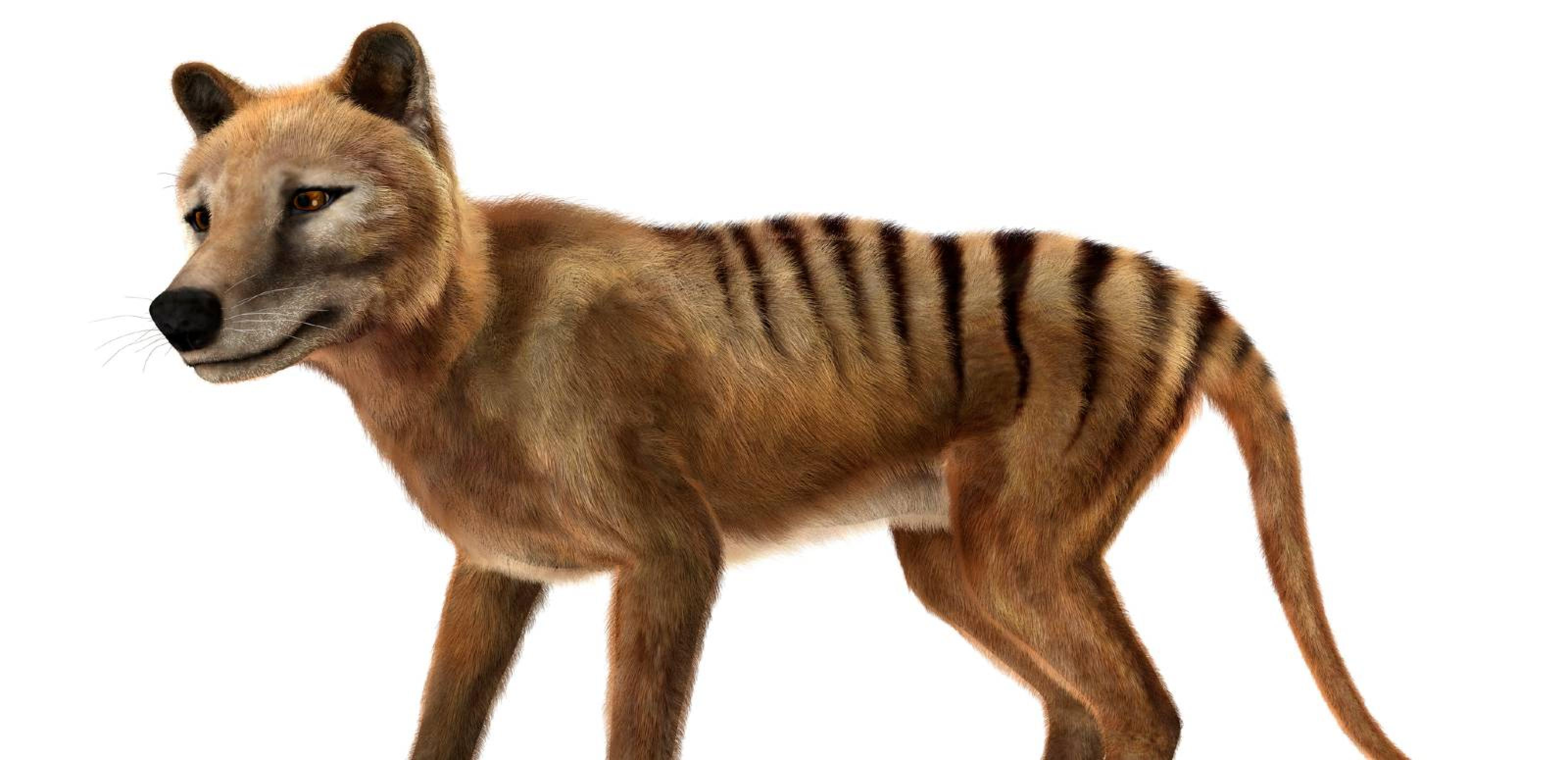 A 3D rendering of an extinct thylacine, or Tasmanian Tiger