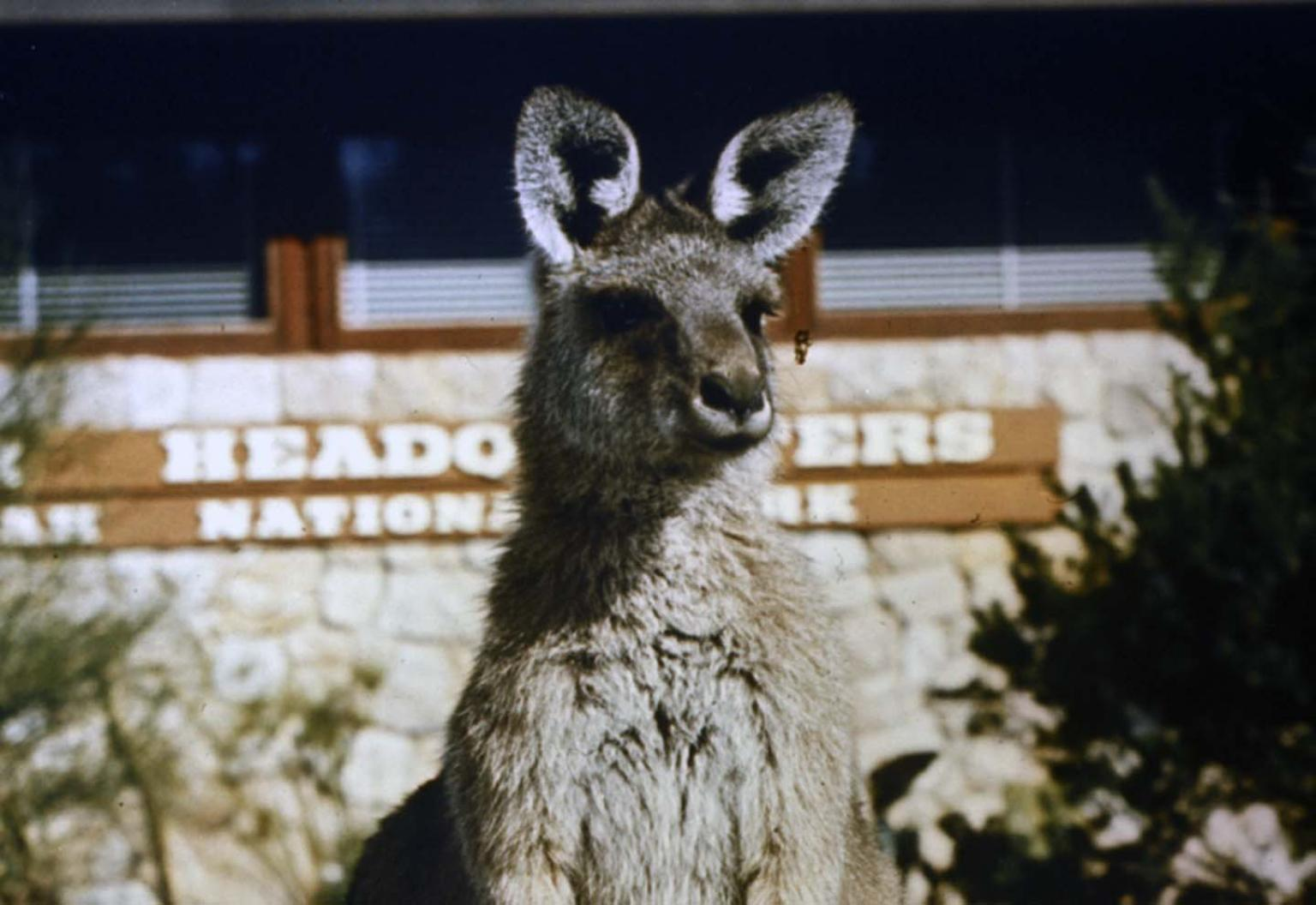 A kangaroo with ears cocked and a National Park Headquarters sign in the background