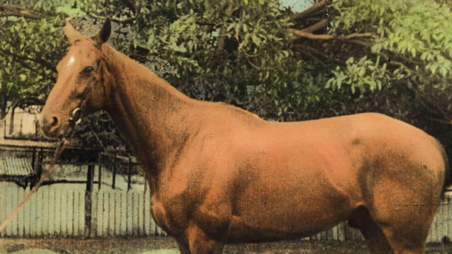 A hand-coloured image of Phar Lap, the 'red terror'. He is a beautiful horse. He stands alone outside.