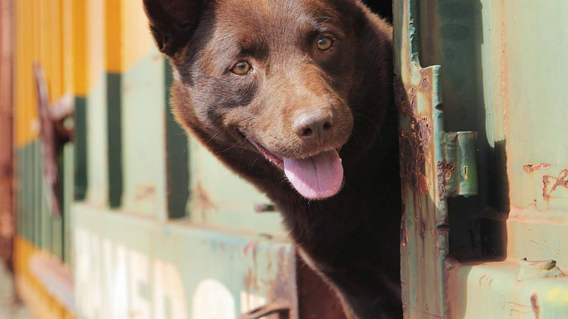 Red Dog, a kelpie-cattle dog cross, pokes his head out of the window of a travelling train